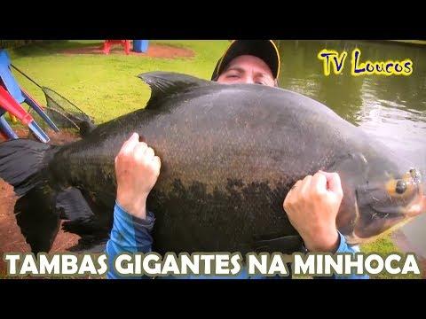 TV LOUCOS 69 - MUITOS PEIXES ACIMA DE 30 KG NO PARAÍSO VERDE (TAMBAS E PIRARARAS)