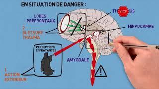 2- Les traumas et leurs conséquences sur le cerveau