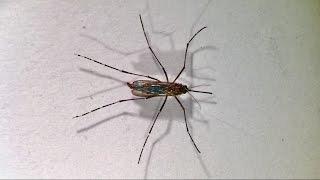 Aedes aegypti ♀