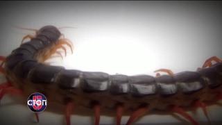 Южно-украинская сколопендра: чем грозит ее укус? - СТОП 5, 19.02.2017