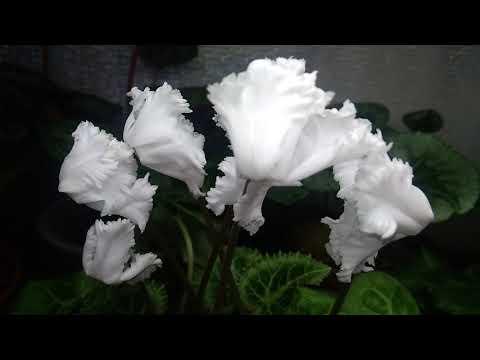 Цикламен сорта  PomPom (4590 от Морель), Pure white . Цветение.