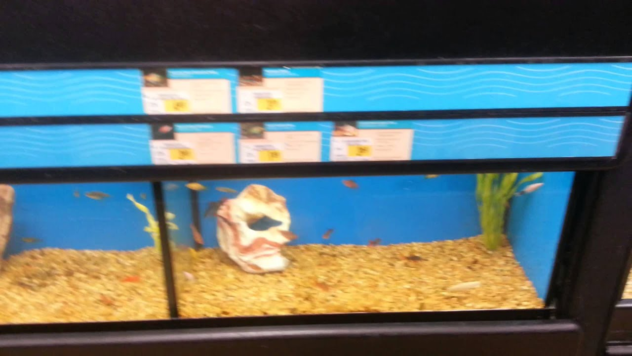 Petco fish for sale in hd freshwater youtube for Petco fish for sale