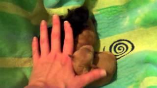 Poptart's Teacup Poodle Puppies