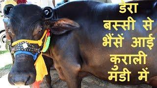 डेरा बस्सी से भैंसें आई कुराली मंडी में I Six Murrah buffaloes for Sale at Kurali Mandi Punjab