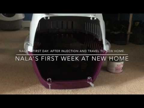 British shorthair first week in new home