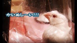 生後77日 かいぬし~い ライトシルバーイノ文鳥ぴよりん#38 thumbnail