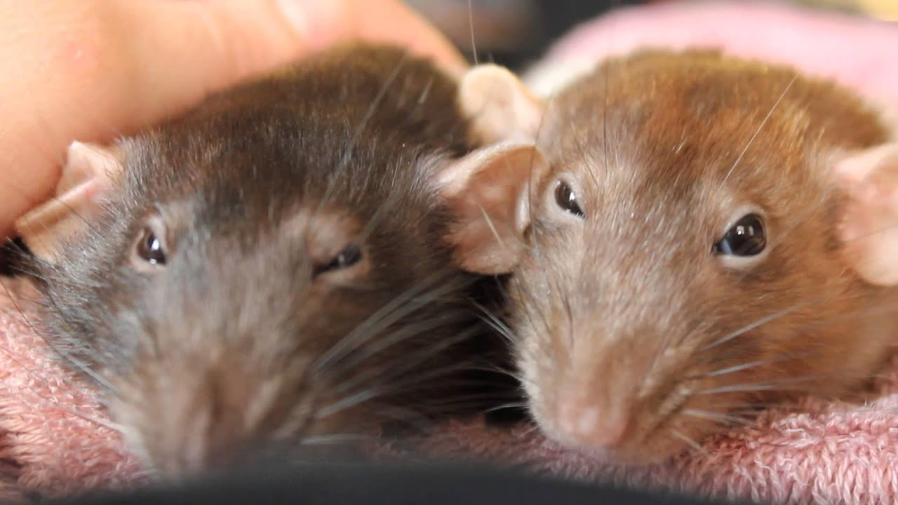 My Rats Bruxing And Boggling Youtube