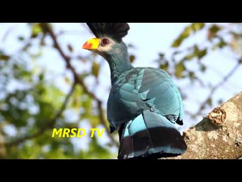 48 Great Blue Turaco Exotic Birds! Top 48 Great Blue Turaco Oiseaux Birds In The World #48