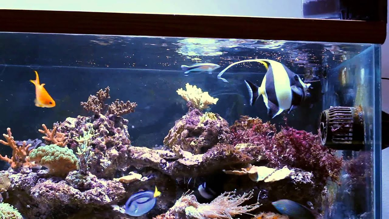 The Moorish Idol Thread Page 74 Reef Central Online Community