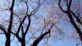 陽射しが暖かい...朝のひととき 桜の枝にセキレイが...幸せそうに囀り~...