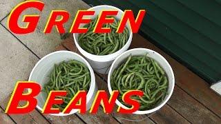 Harvesting Blue Lake Bush Bean (Green Bean) #120 Heirloom Organic Vegetable Garden