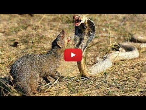 Mongoose VS King Cobra---Deadly Fight---Animals Attack Compilation
