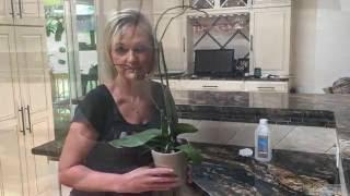 видео Орхидея отцвела, Обрезка цветоноса у орхидеи Crop orchids peduncle