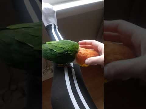 Cuddles with my white-bellied caique.
