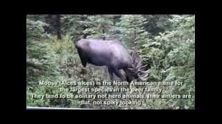 Wild animals in Alaska- Wyoming area