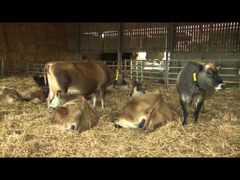 Optimising Lying Comfort of the Dairy Cow - AHDB Dairy