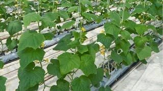 curso cultivo de pepino em estufa produo de mudas cursos cpt