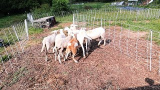 my-simple-backyard-grazing-system-for-sheep