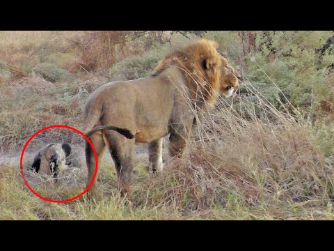 Wild Dog Plays Dead To Escape Lions