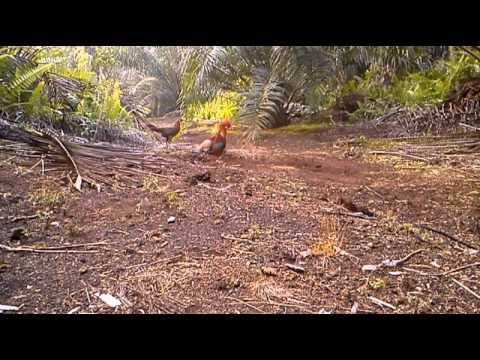 Ayam Hutan Pikat Betina 59