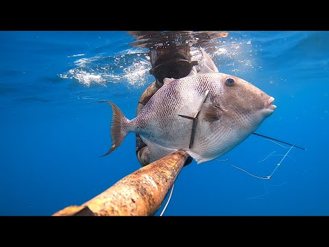 Spearfishing Giant Triggerfish