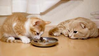 子猫にご飯を食べられフテ寝する短足猫がこちらw