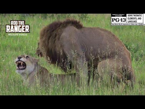 WILDlife: Lions Mating In The African Savanna (4K Video) #youtubeZA