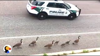 Geese Family Gets Police Escort | The Dodo