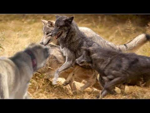 Одиночный Кангал отбивает стаю голодных волков !!!