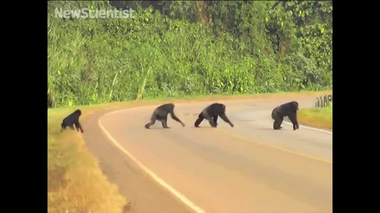 Wild chimps take care before crossing the road
