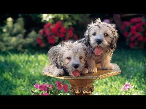 60 Seconds Of Cute Dandie Dinmont Terrier Puppies!