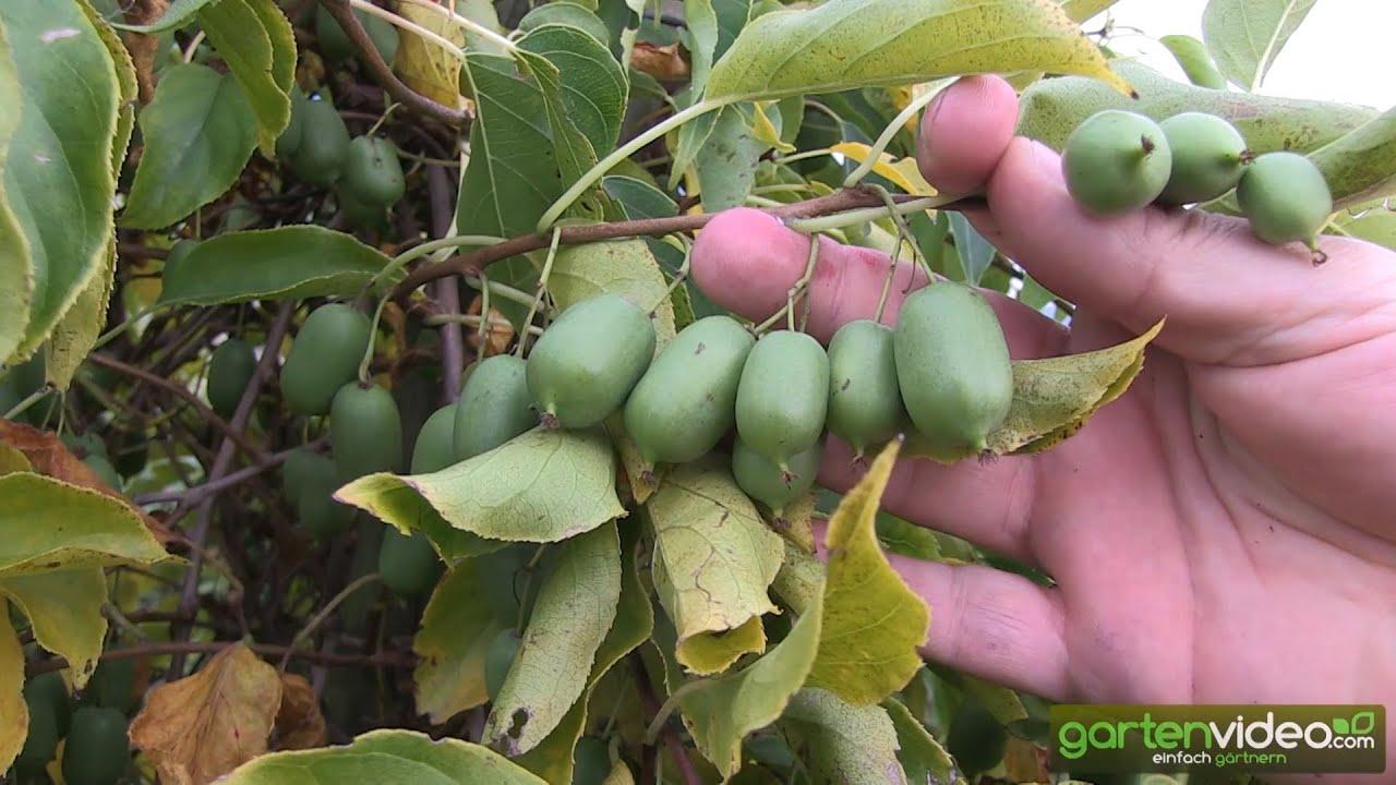 Lieblings Issai - Erntereife Traubenkiwi an der Pflanze - YouTube @FI_14