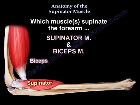 Anatomy Of The Supinator Muscle - Everything You Need To Know - Dr ...