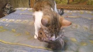 Маня крысолов / Cat vs rat