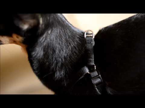 Видео: Как сшить шлейку для собаки / кошки / хорька
