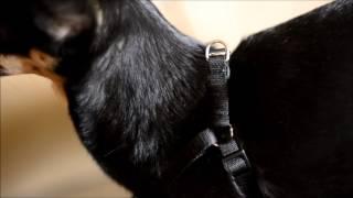 Как сшить шлейку для собаки / кошки / хорька