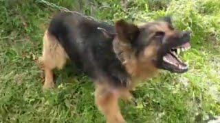 انثى كلب جيرمن شيبرد تقتل 16 خروف وتجرح 4 في بيت لحم مع جمال العمواسي