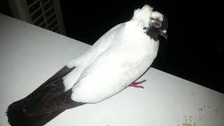 Печальный голубь и упоротый рокер