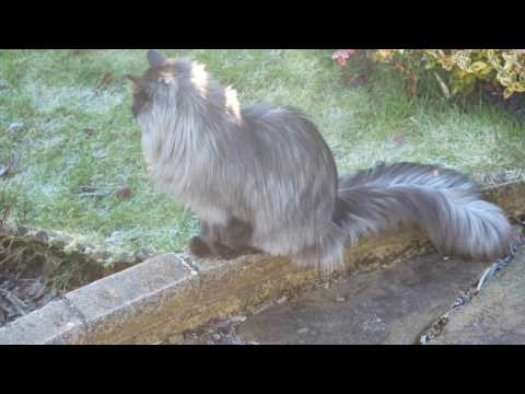 Young Norwegian Forest Cats plodding around frosty garden