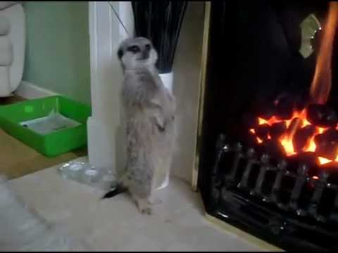 Un suricate au coin du feu ! / Meerkat getting warm !