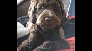 Puppy Vlog - Watson Labradoodle 6 Months Old