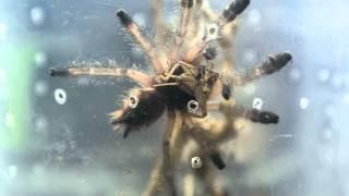 Avicularia bicegoi eating a cricket.