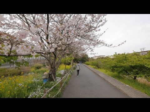 【4K】Sakura patrol - Local birds park and birds clinic