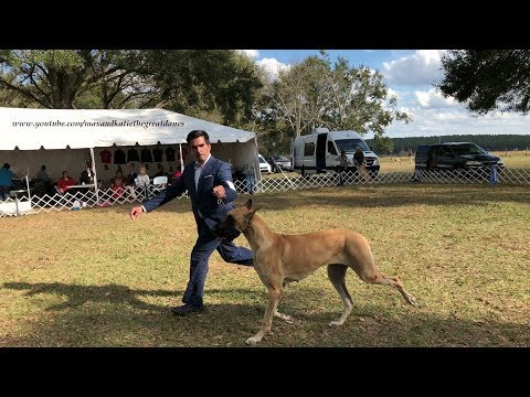 Great Danes Have Great Day as Spectators at Brooksville Florida Dog Show
