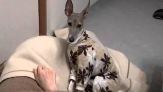毛布の中に入って寝たいチロ.