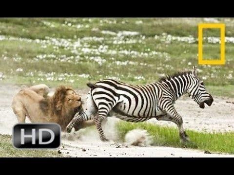 Discovery channel animals documentaries - Zebra documentary - Nature documentary 2016 Animal planet