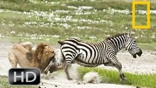 Discovery channel animals documentaries - Zebra documentary - Nature documentary 2016 Animal planet