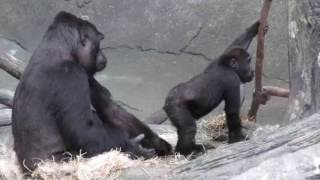 Family of Gorillas at Brookfield Zoo