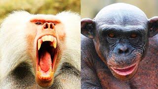 Babuino vs Chimpancé | EPIC VERSUS