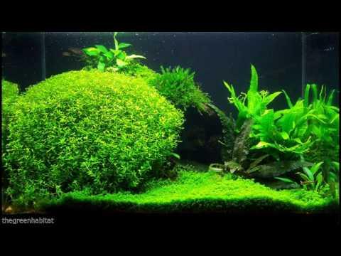 Micranthemum Micranthemoides - Freshwater Bunch Live Aquarium Plants Pearl Weed